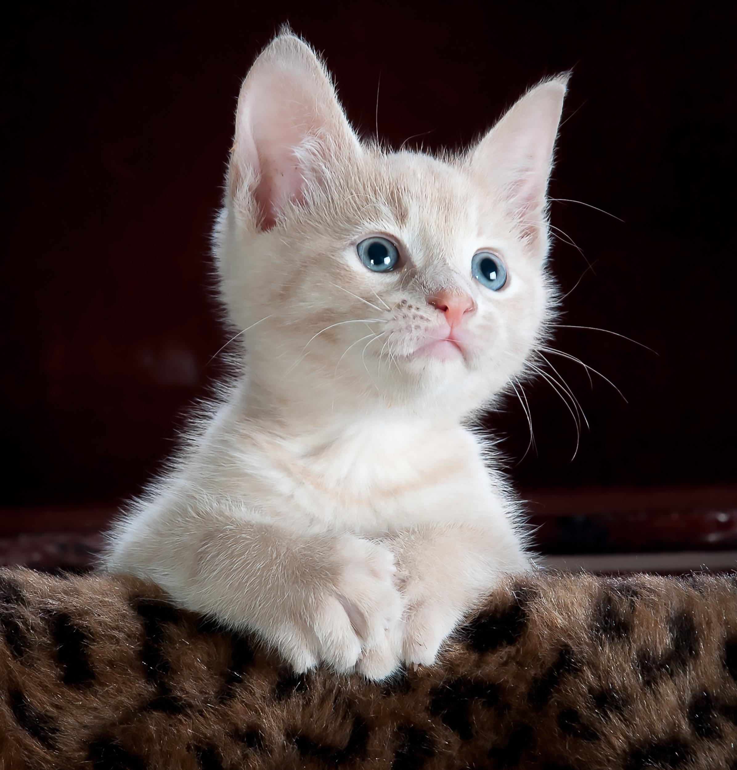 Dräktighet och kattungar