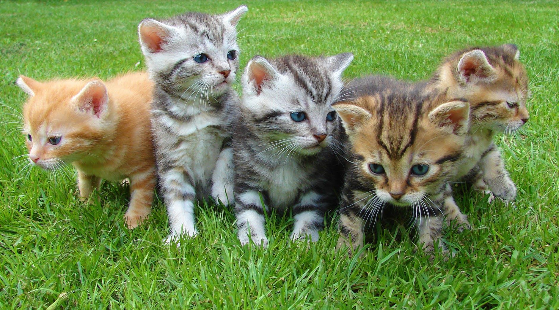 Flera kattungar i gräs