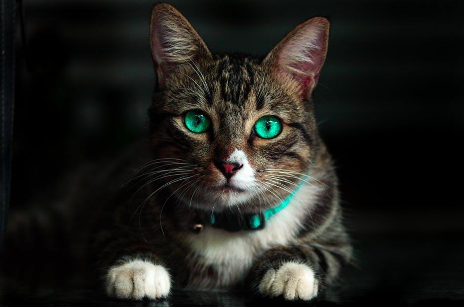 Katt med turkos ögon